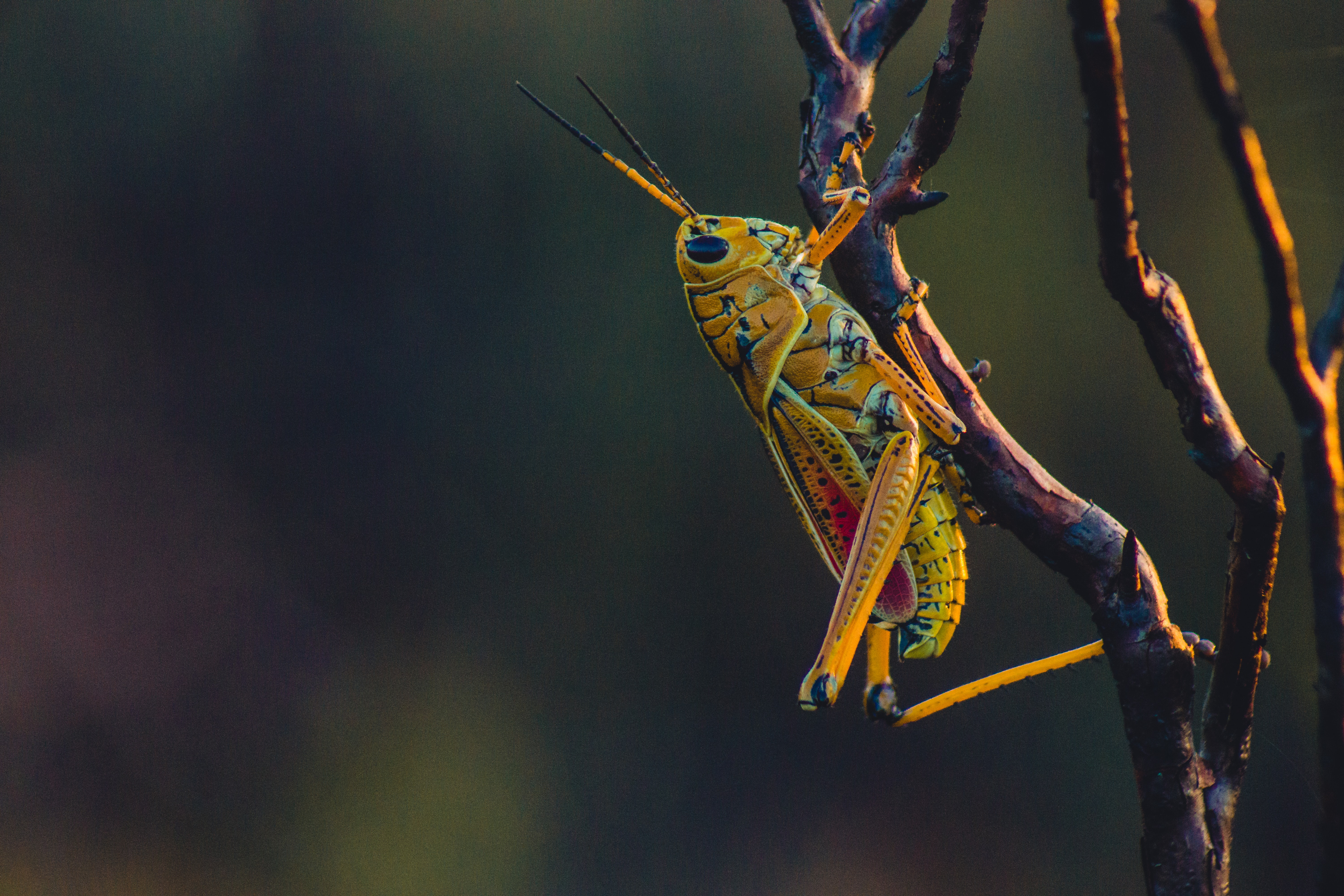 A close-up of a bright yellow grasshopper sitting on a branch