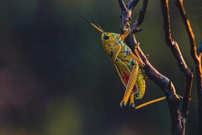 macro photography of yellow grasshopper on tree branch