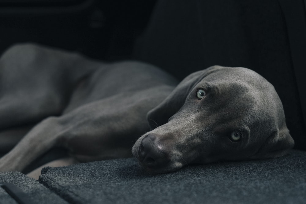dog laying black surface