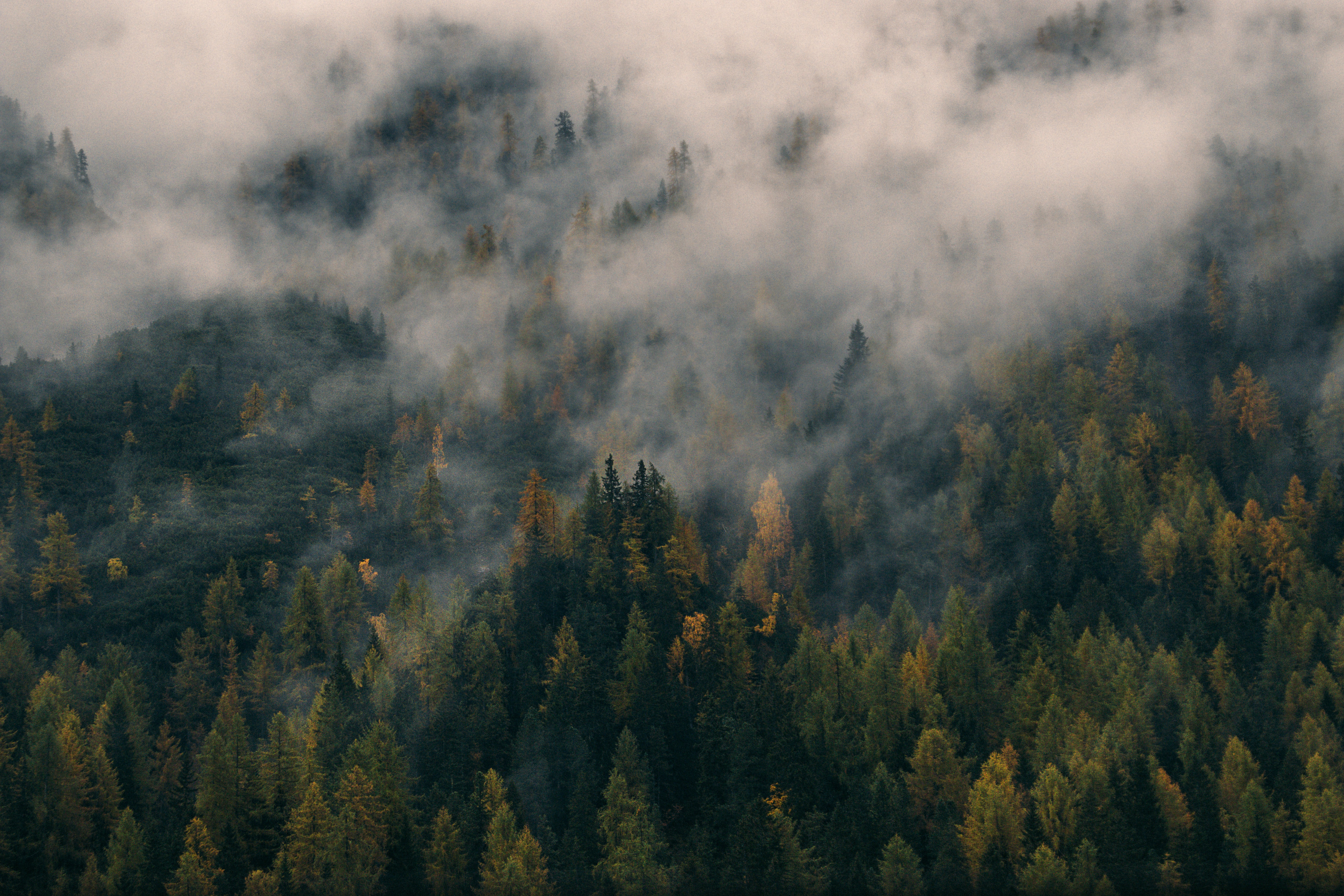 A forest of pine trees covered in mist and fog in the Dolomites