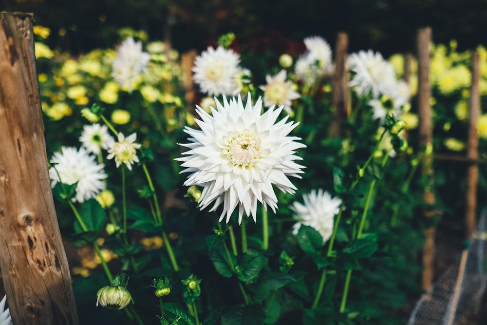 blooming white chrysanthemum flowers
