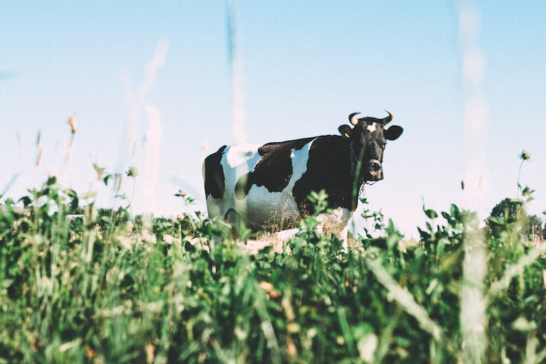 black and white dairy cow on green grasses during daytime