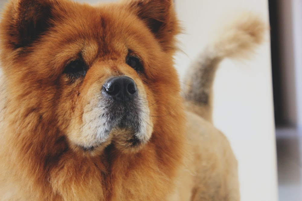 photo of adult brown Chow Chow