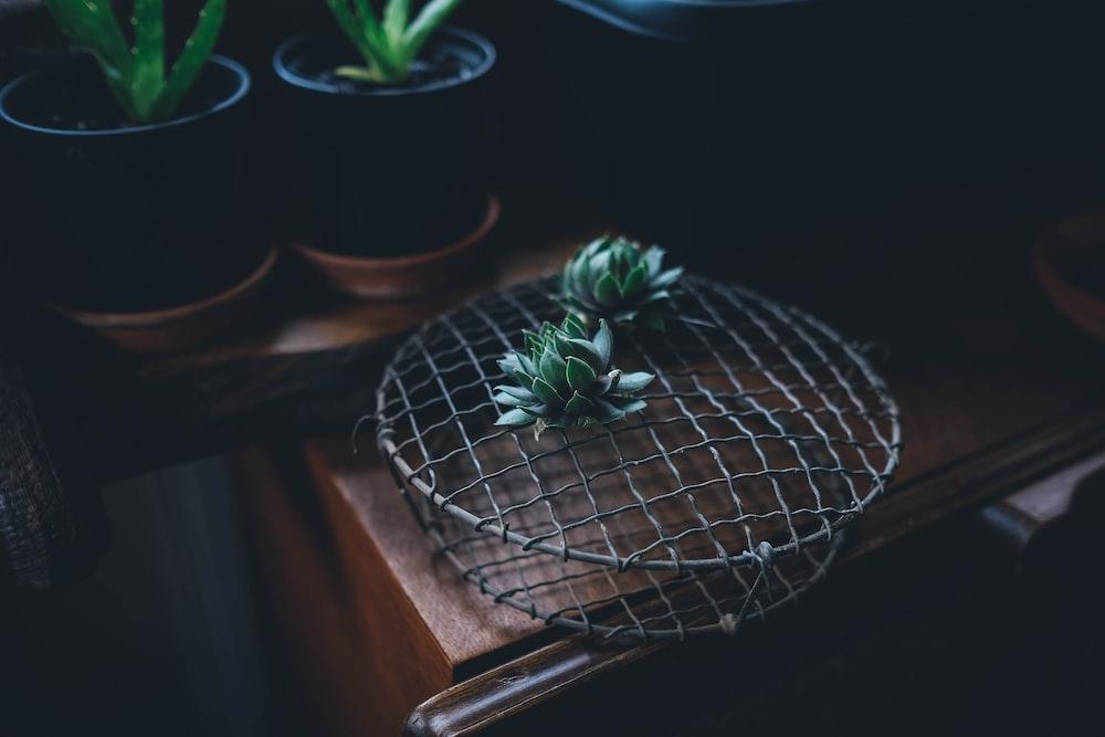 succulent plant beside Aloe vera plant with pots