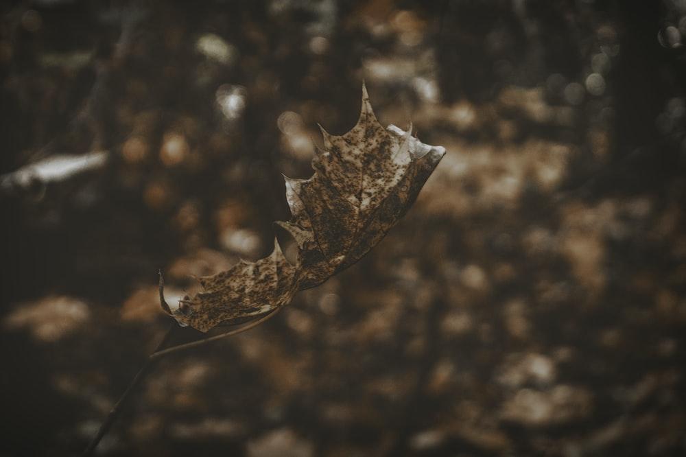 closeup photograph brown dried leaf