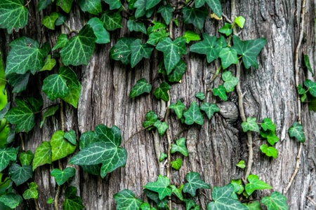 Gardening Tips How to Grow English Ivy