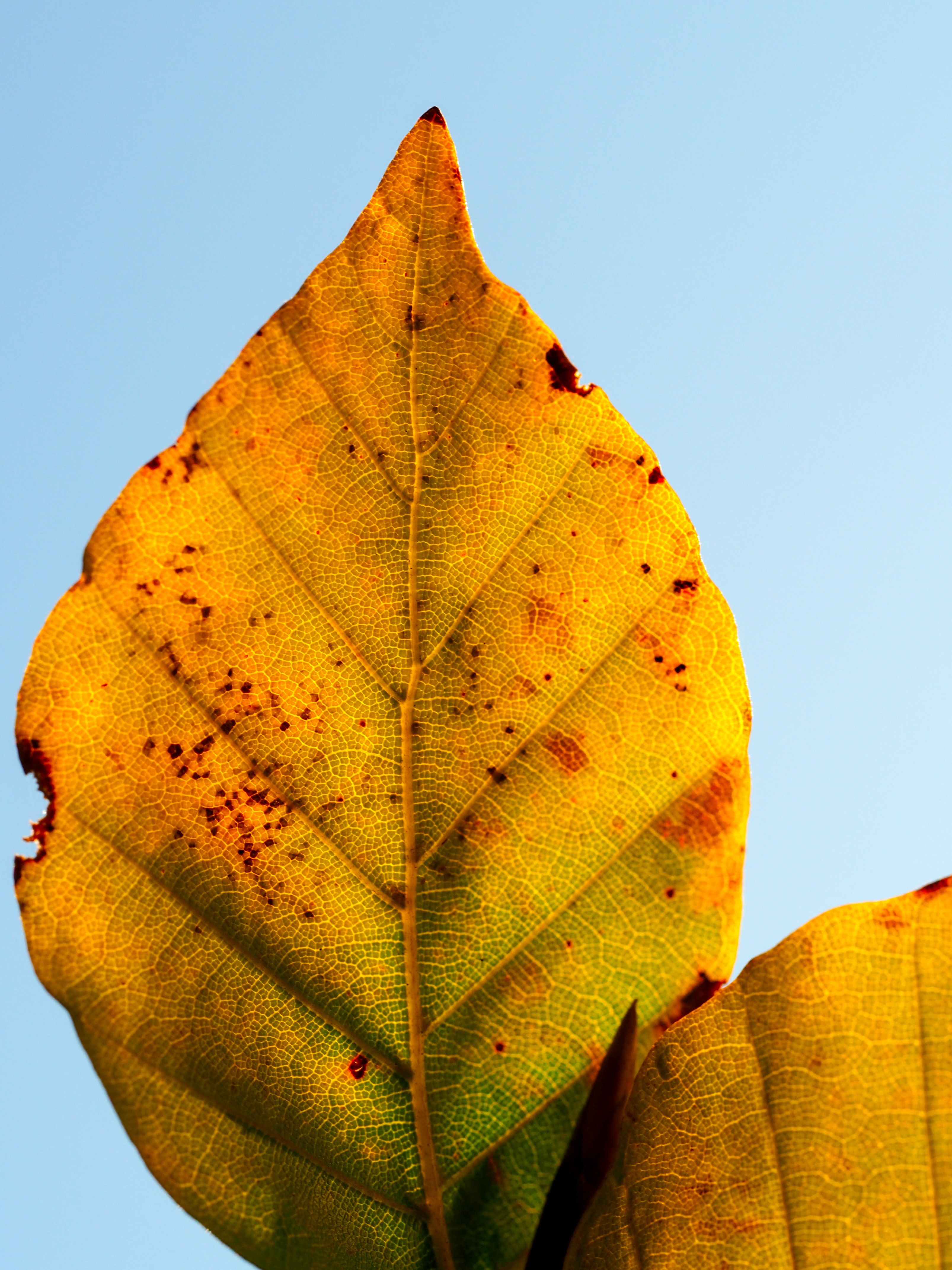 Details on an orange and yellow autumn leaf