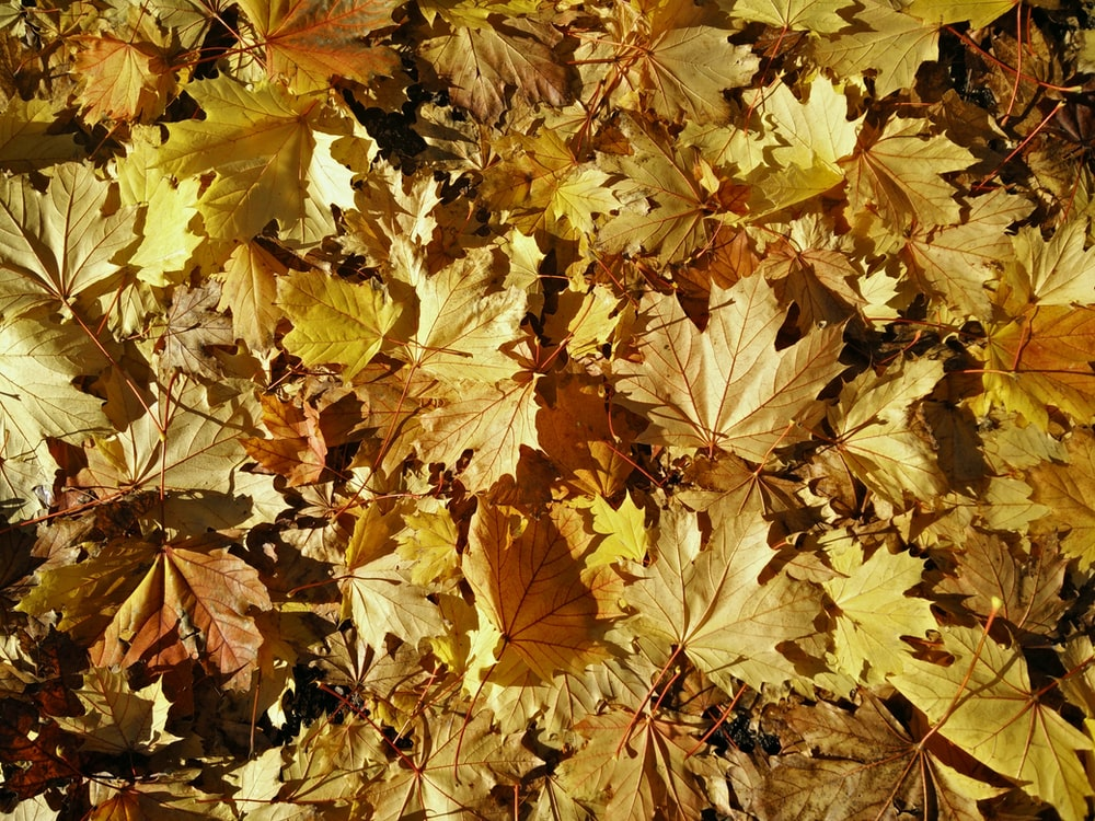 close up photography of yellow maple leaves