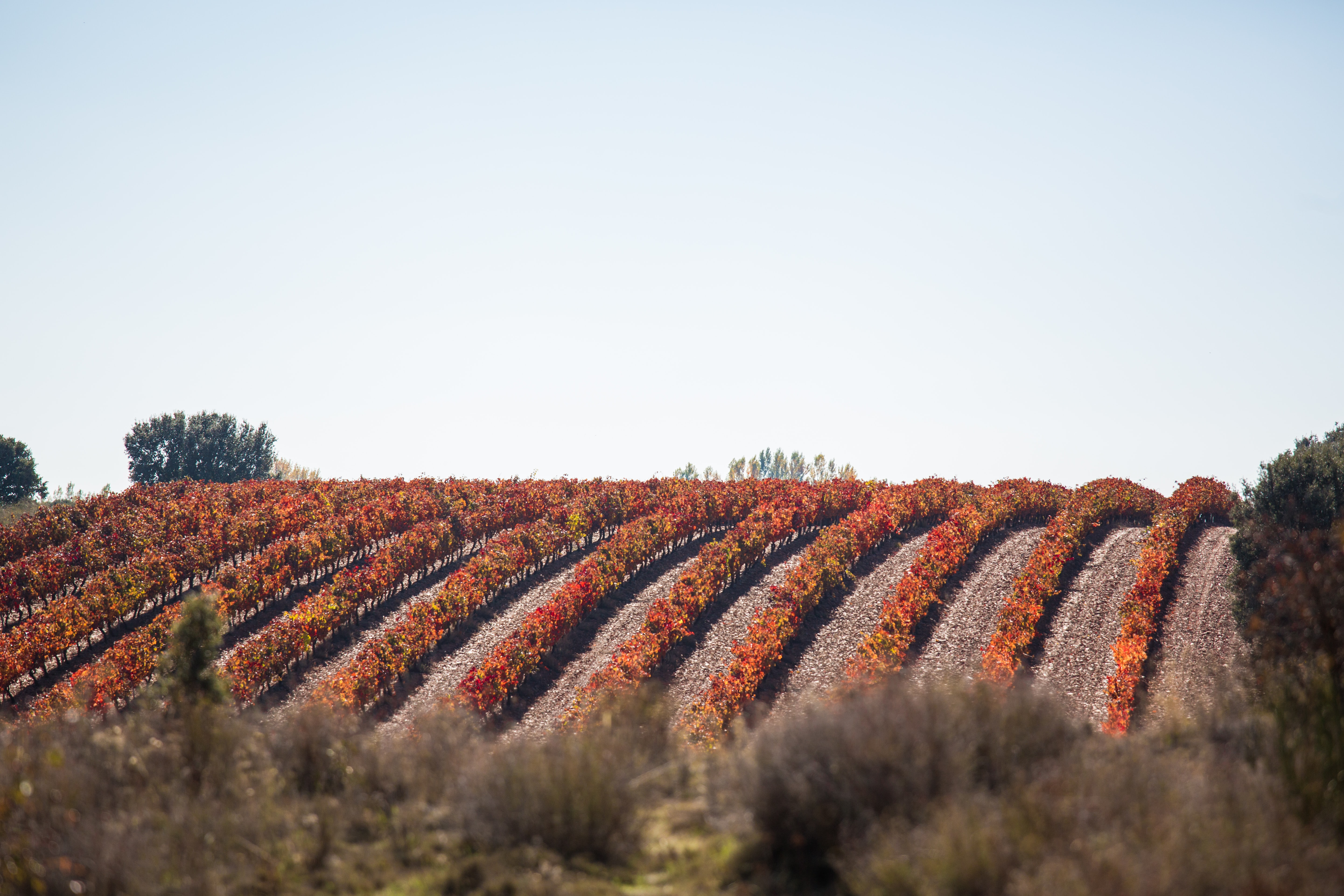 A scenic landscape with rows of short orange-leaved trees in an orchard