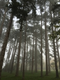 tall trees surrounded with fogs