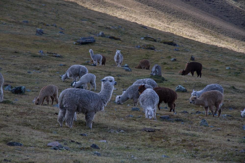 llama of green field
