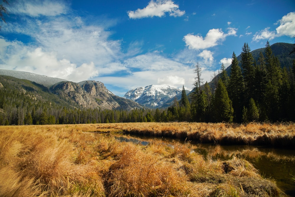wheat field near pine trees beside mountains under blue and white sky