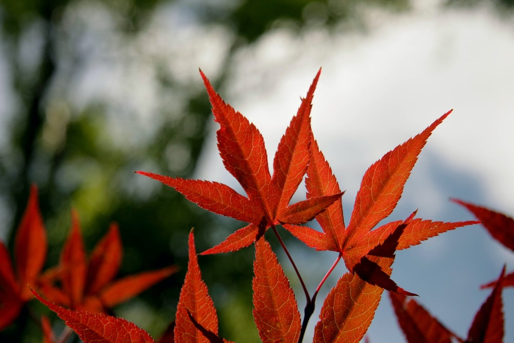 close-up photography of red maple leaves