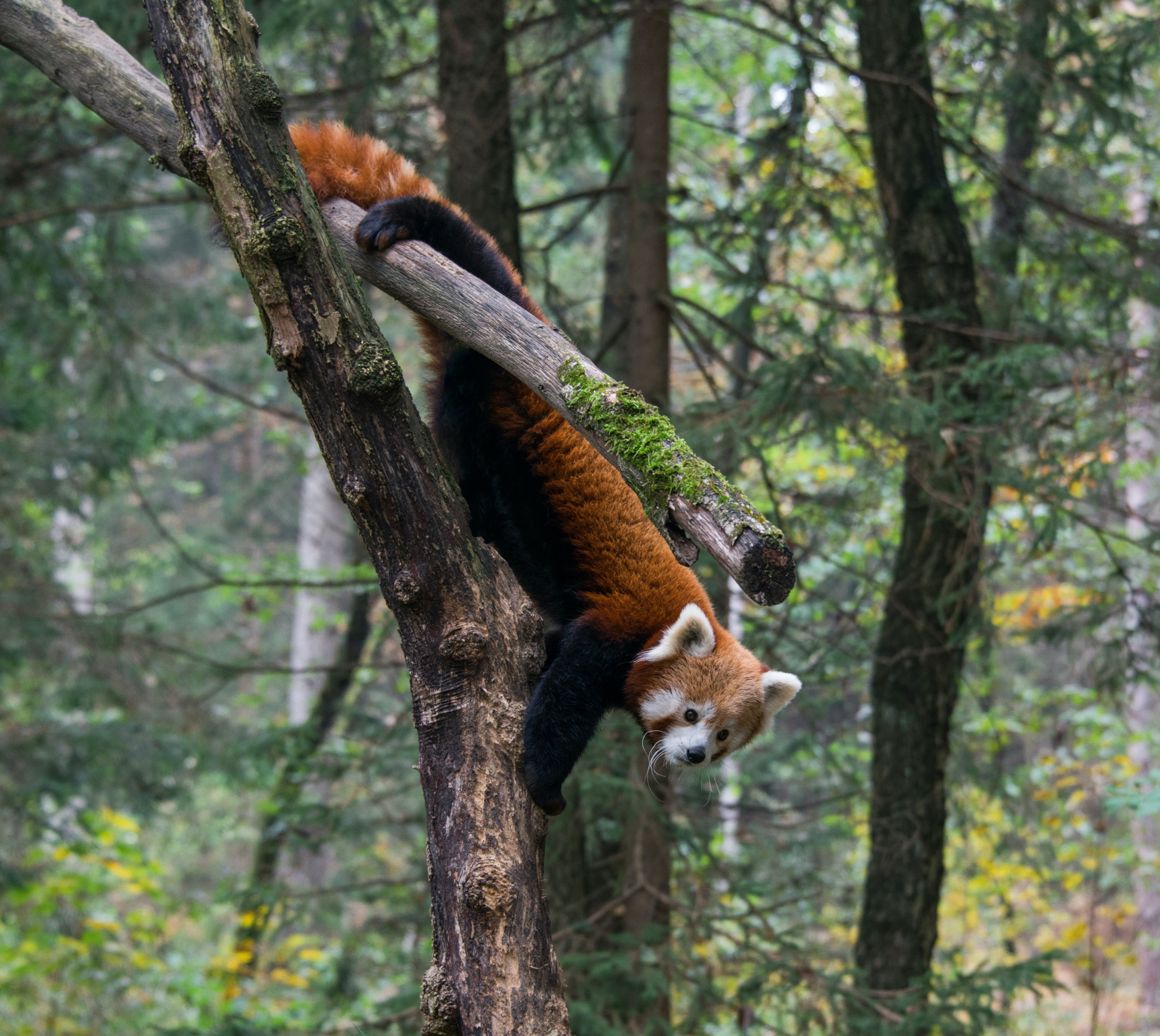 A red panda climbing down a mossy tree trunk