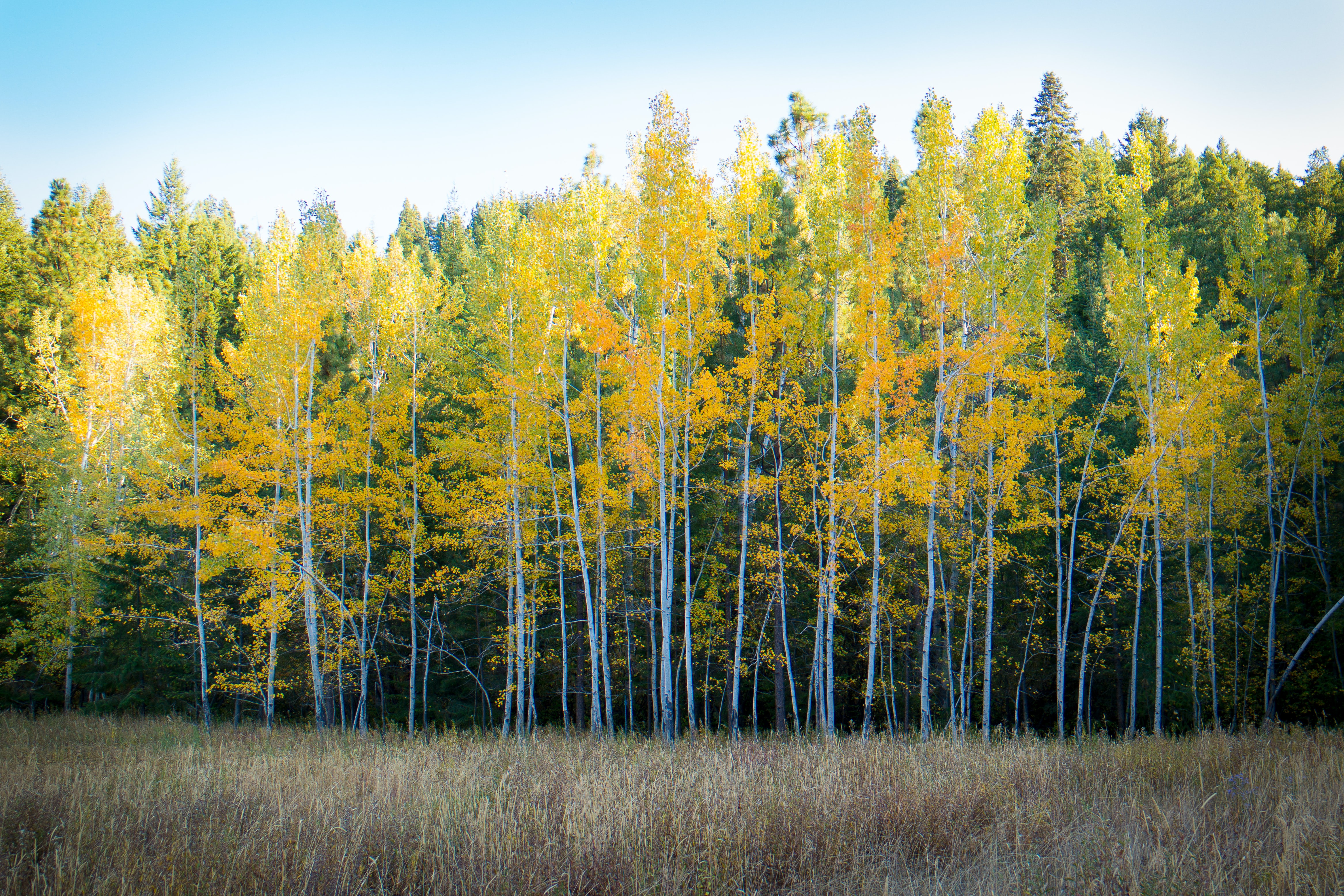 Bright yellow and green birch trees line the edge of a forest in Leavenworth