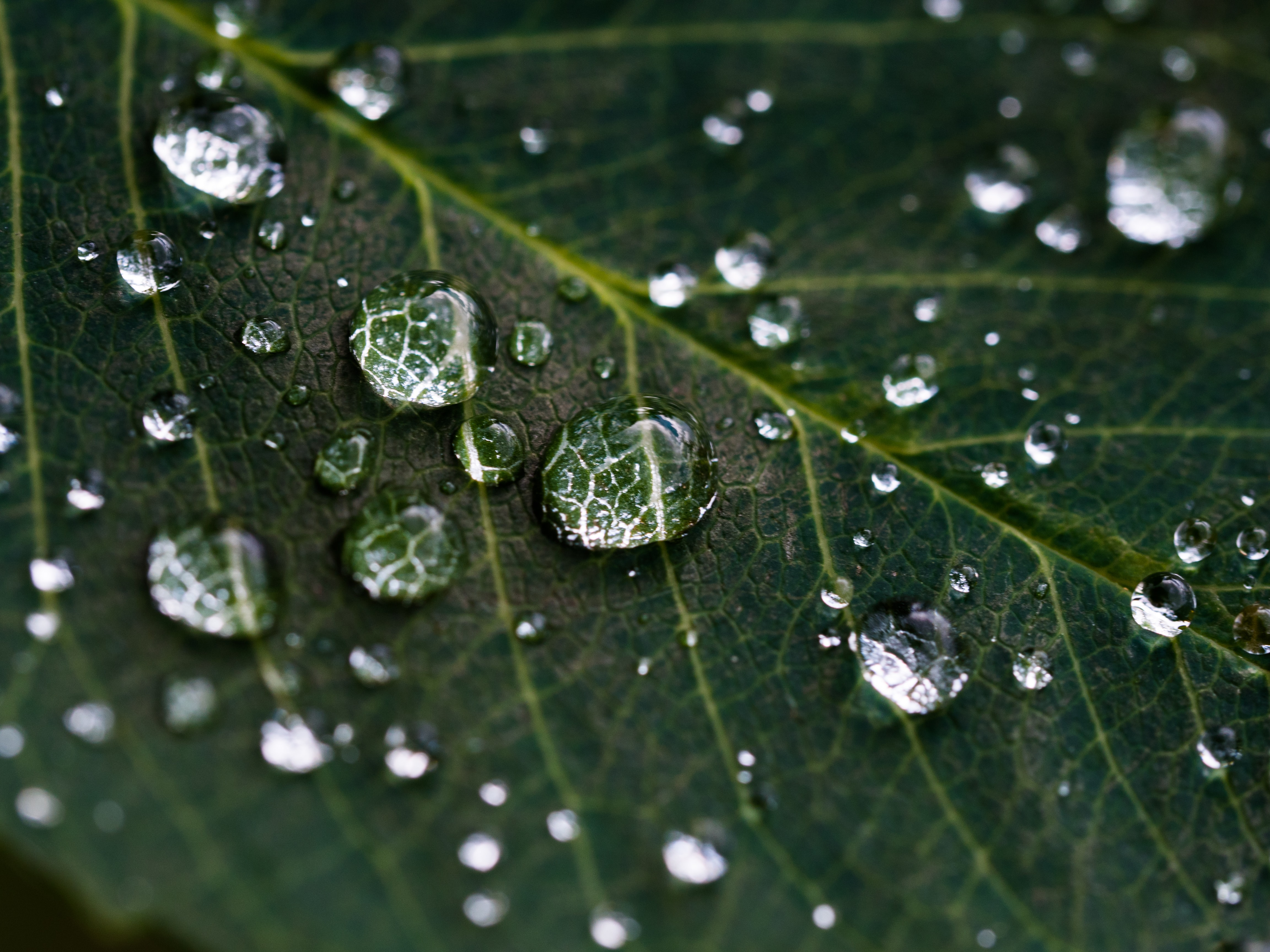 A macro shot of droplets of water on the veiny surface of a dark green leaf