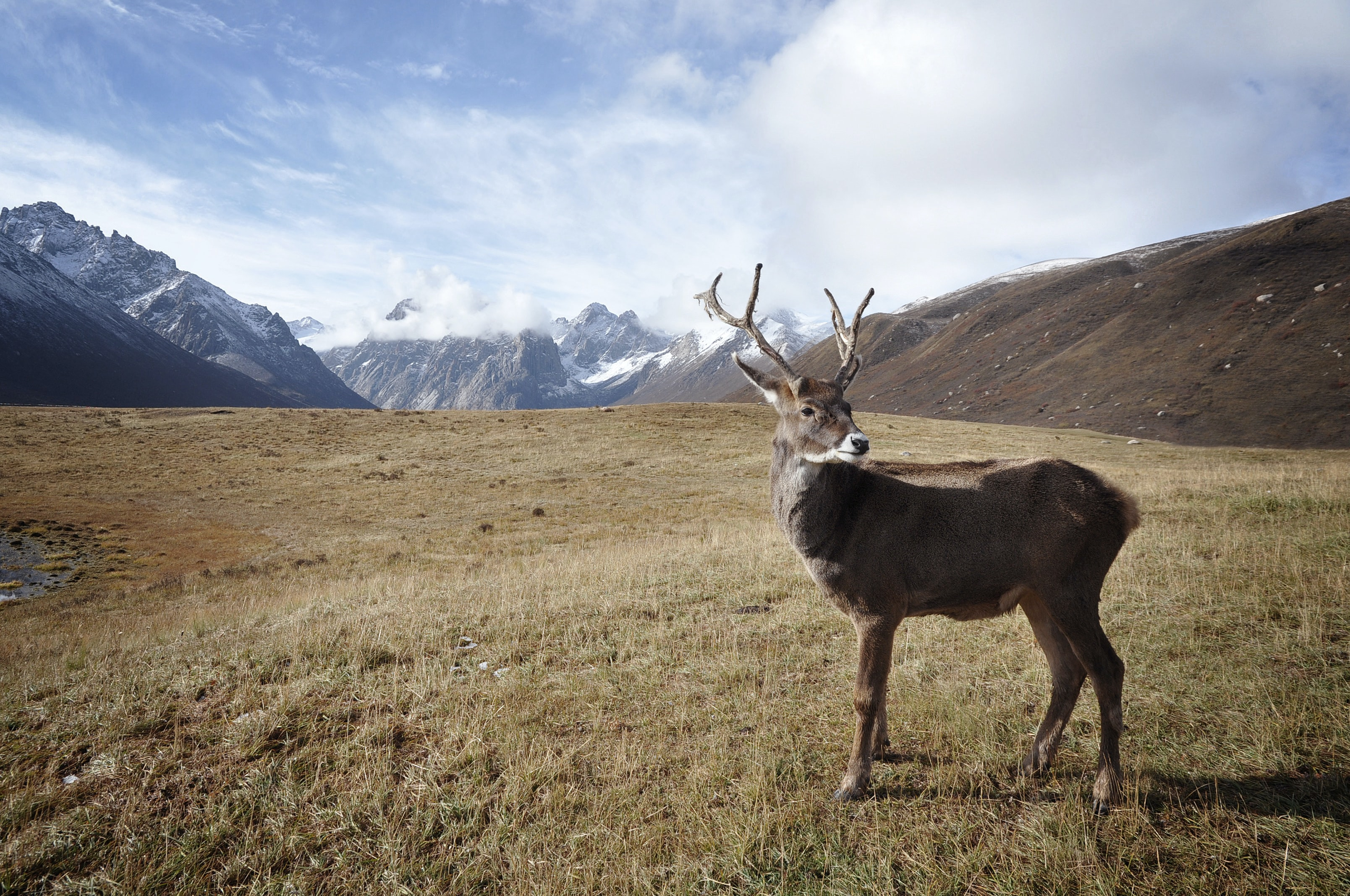 A caribou standing in a grassy plain in the mountains
