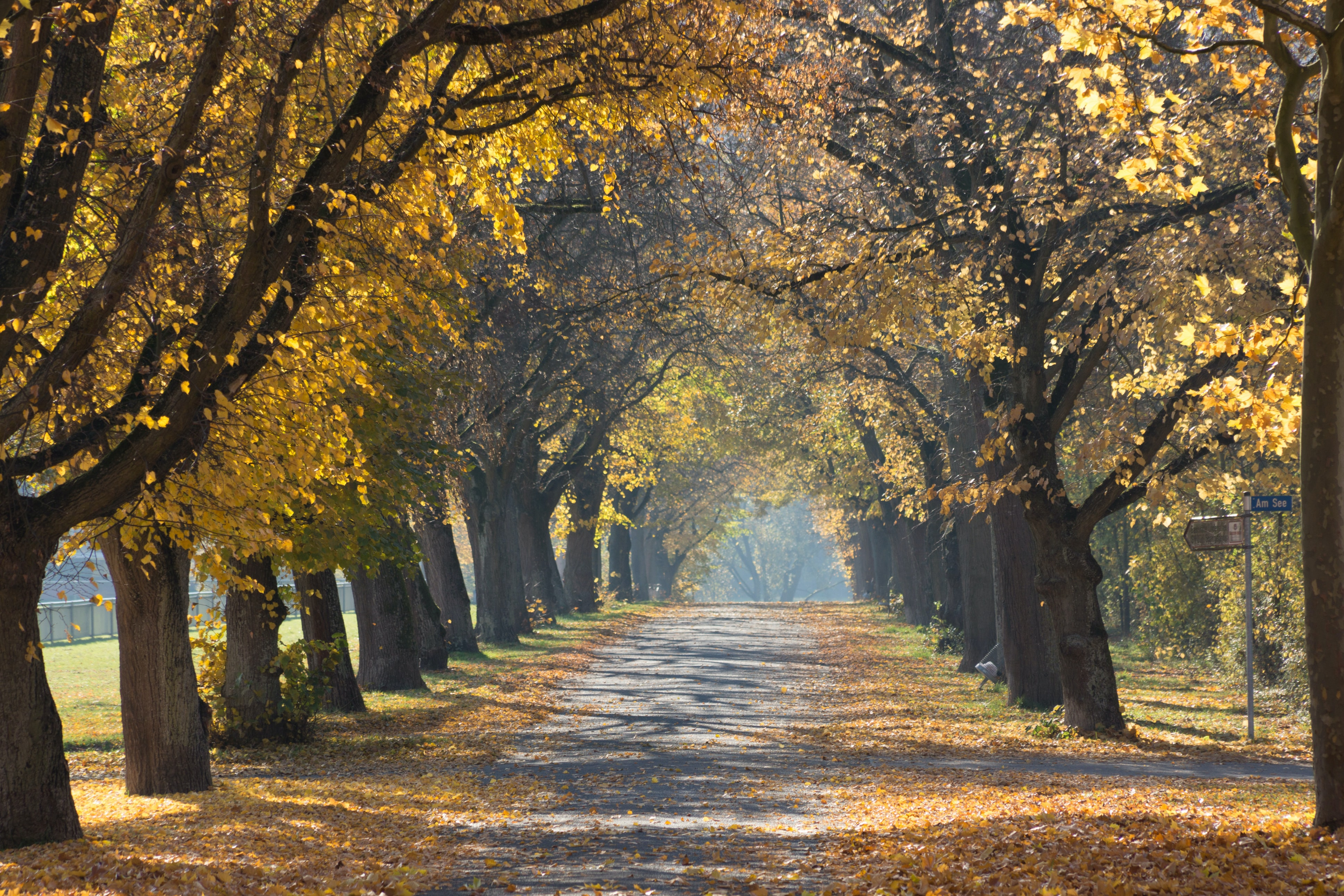 A tree-lined path with trees shedding their leaves in the middle of autumn