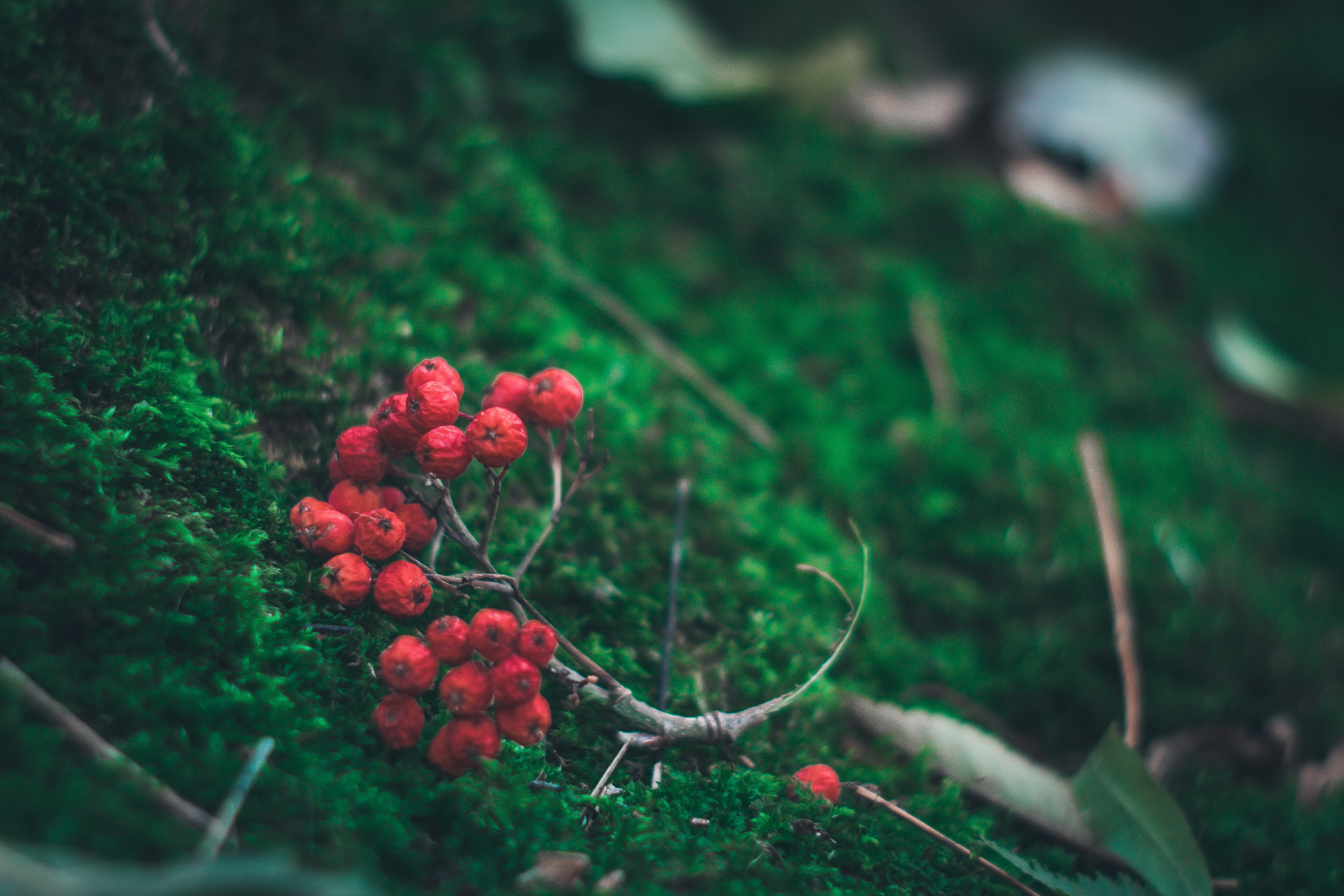 A bunch of bright red rowan berries contrasted against dark green moss