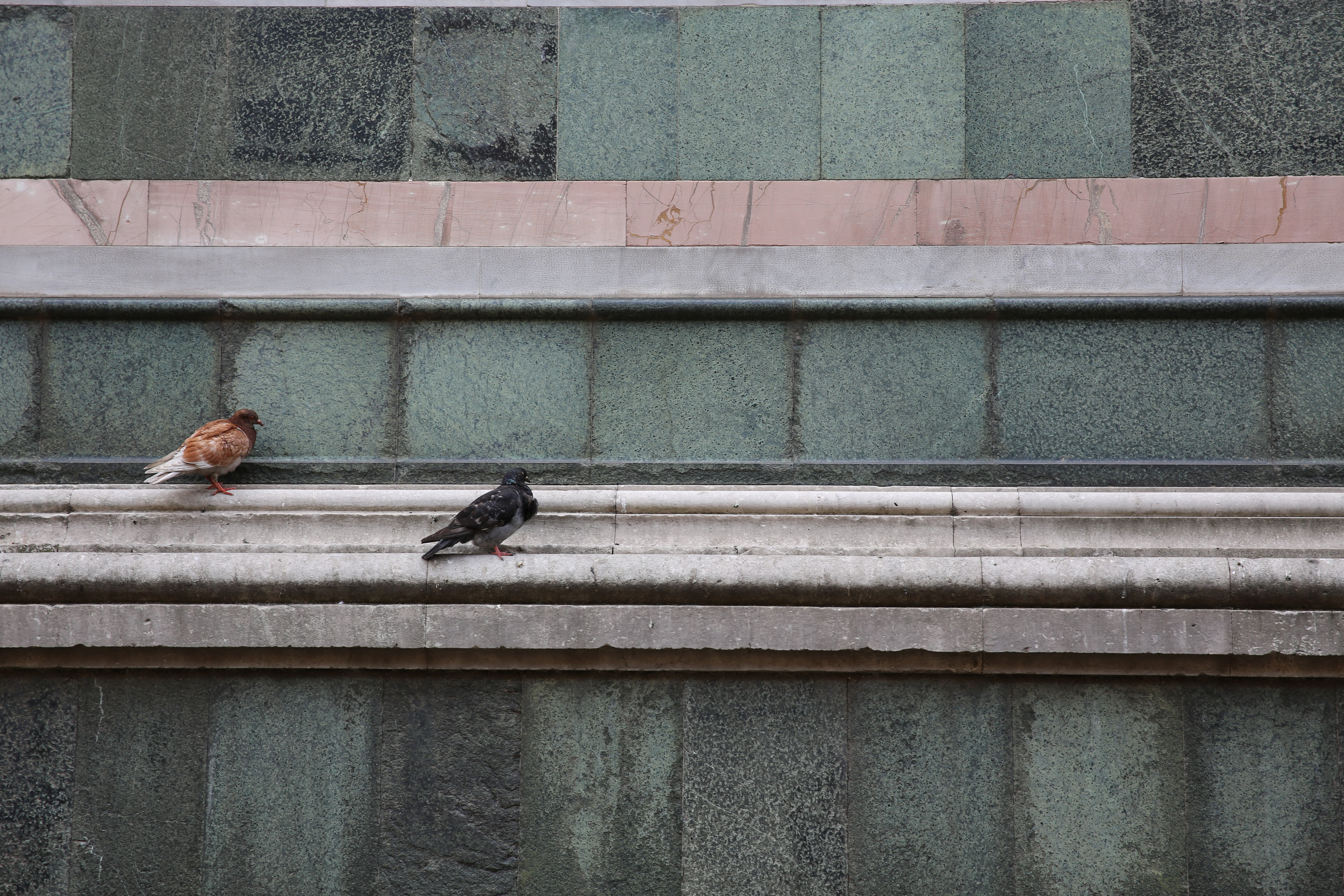 photo of two brown and black pigeons