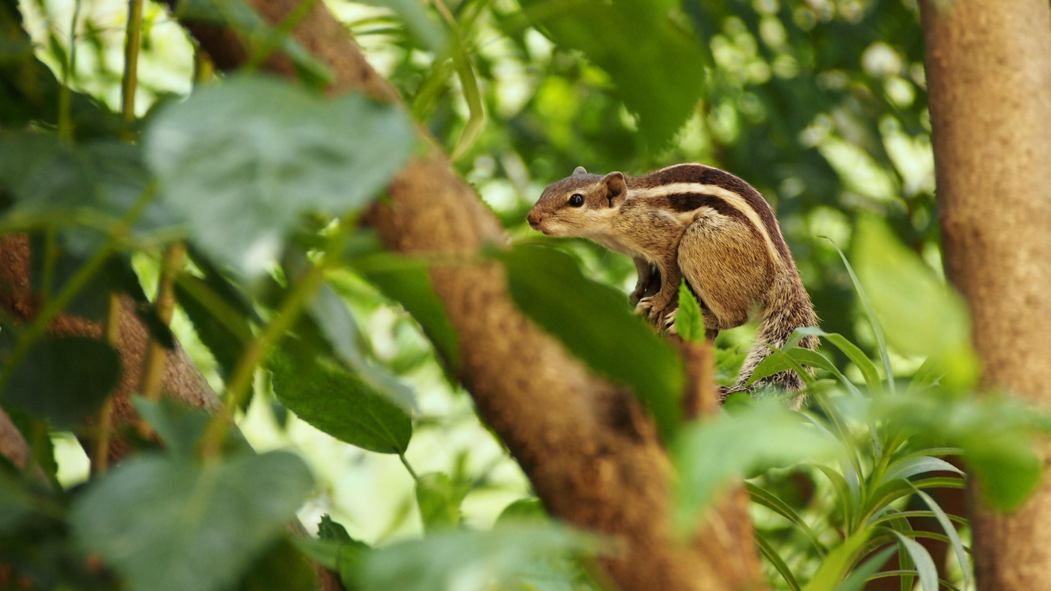 brown chipmunk on branch of tree