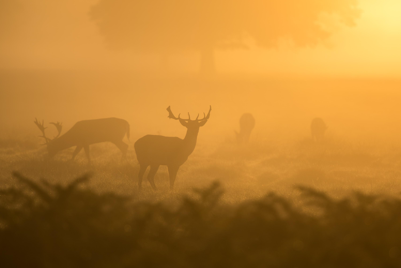 Wild deer graze in a foggy field during sunrise in Bushy Park