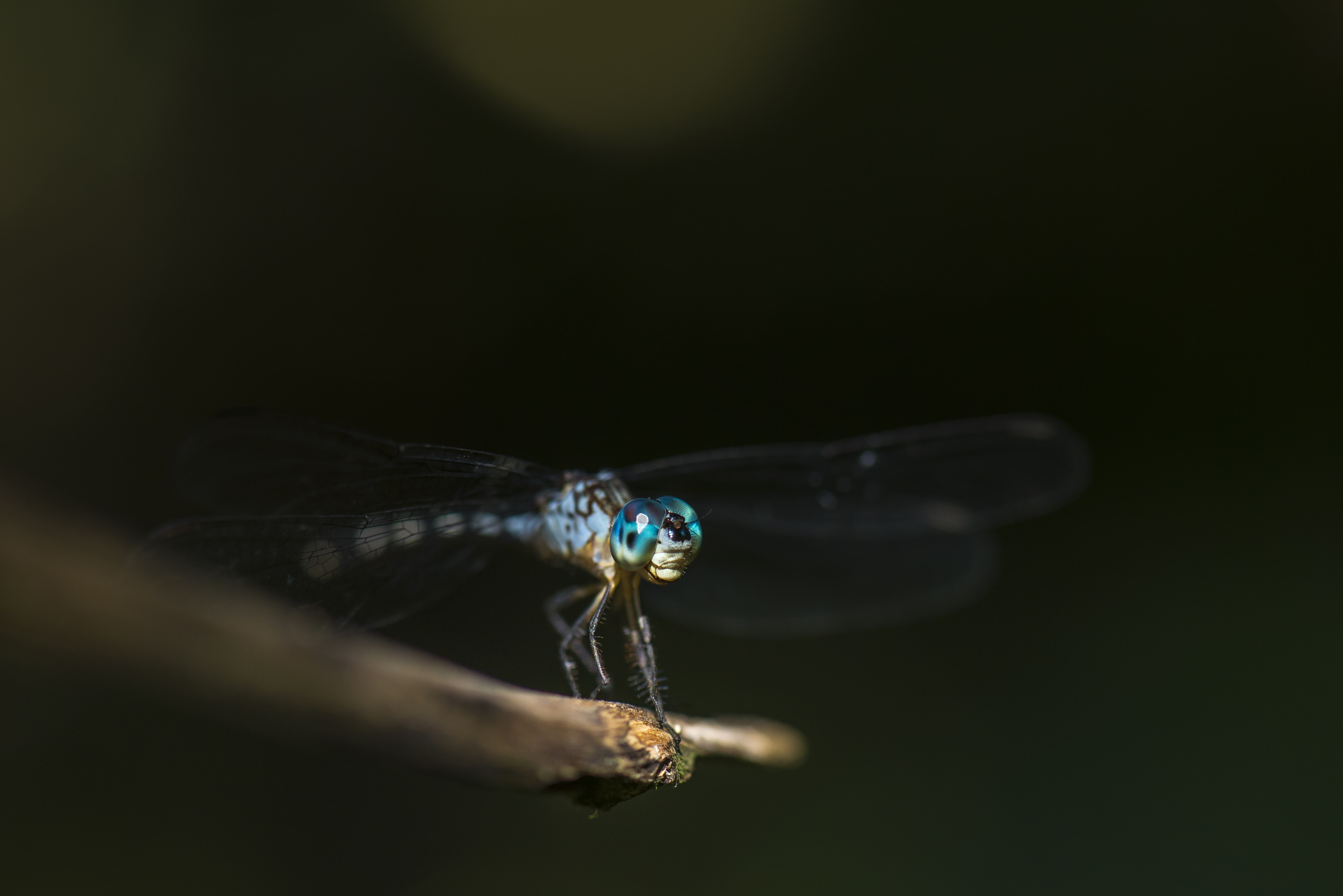 A macro shot of a light blue dragonfly sitting on a stick in Paramaribo