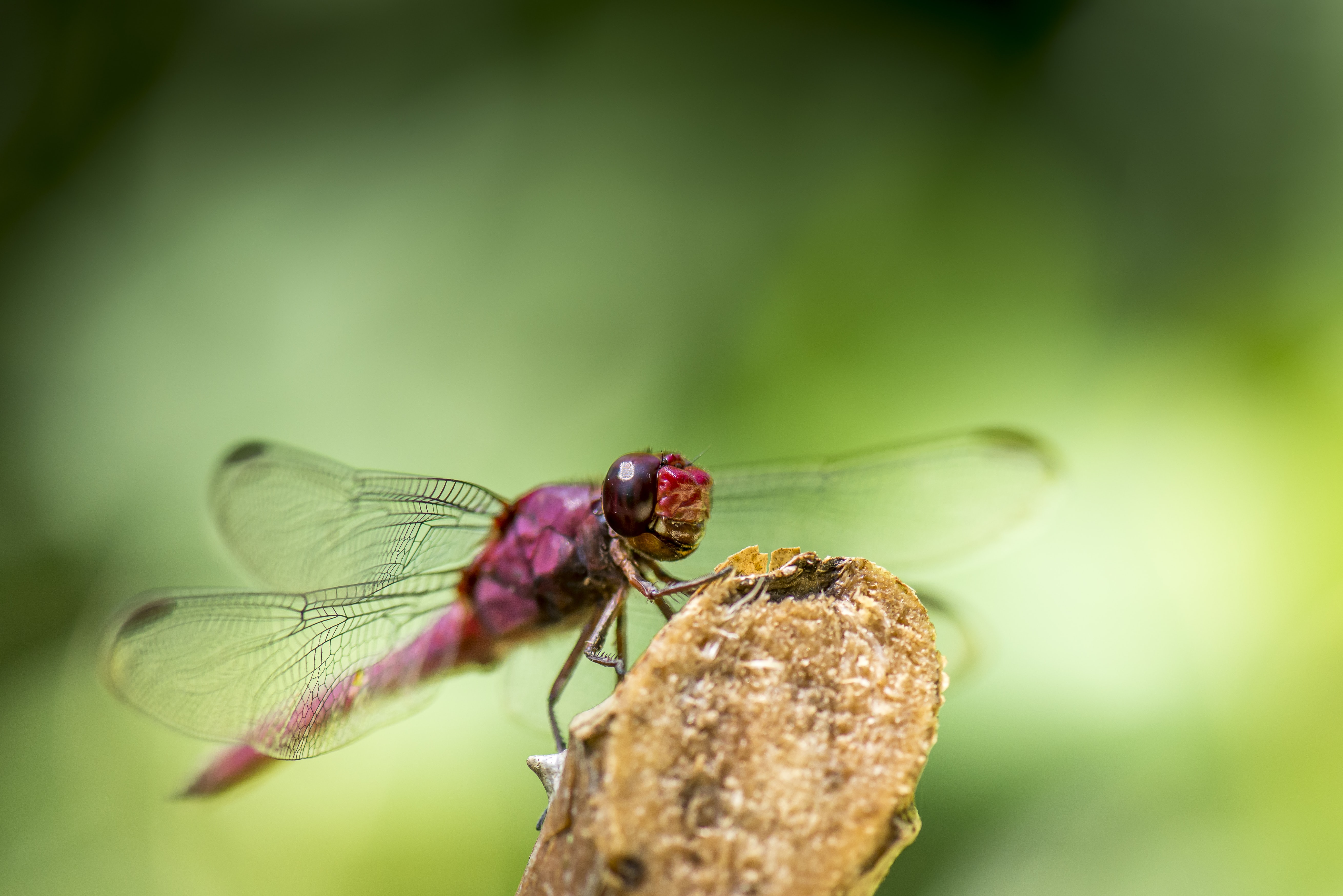 red dragonfly on brown tree branch