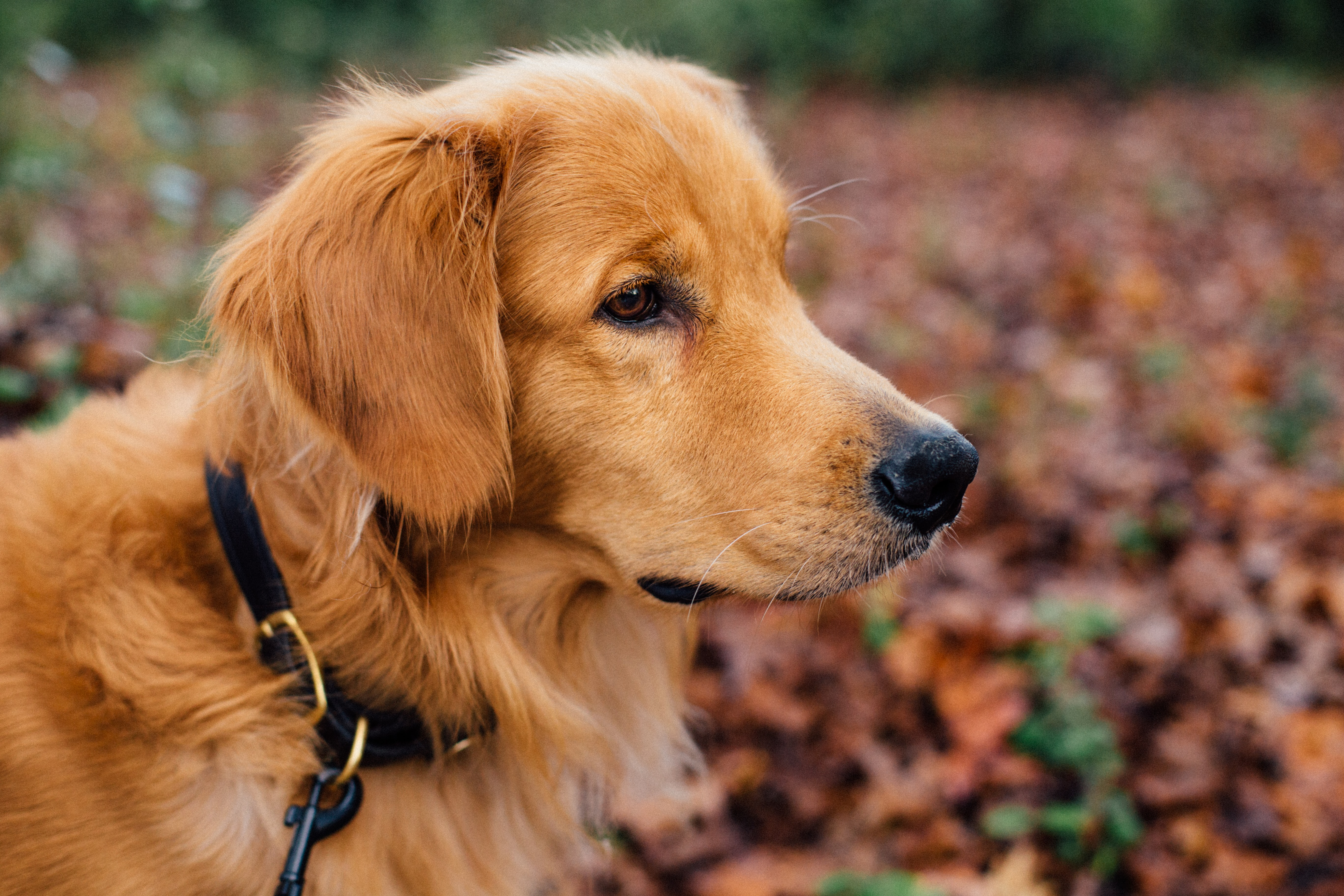 shallow focus photography of Golden retriever puppy