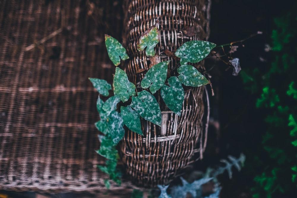 green wine plant