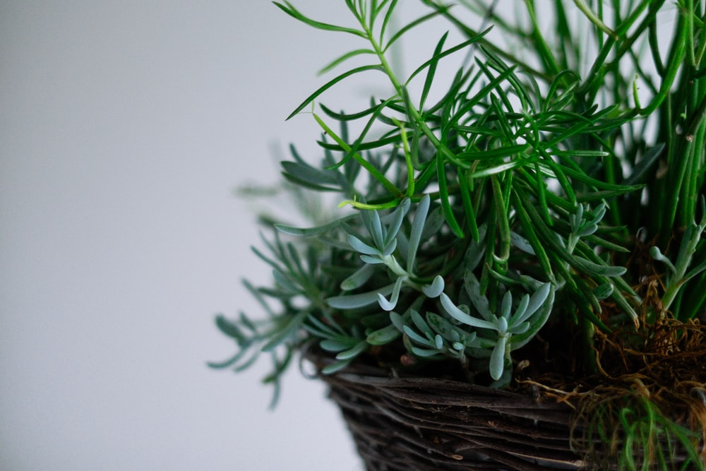 green succulents in brown wicker pot
