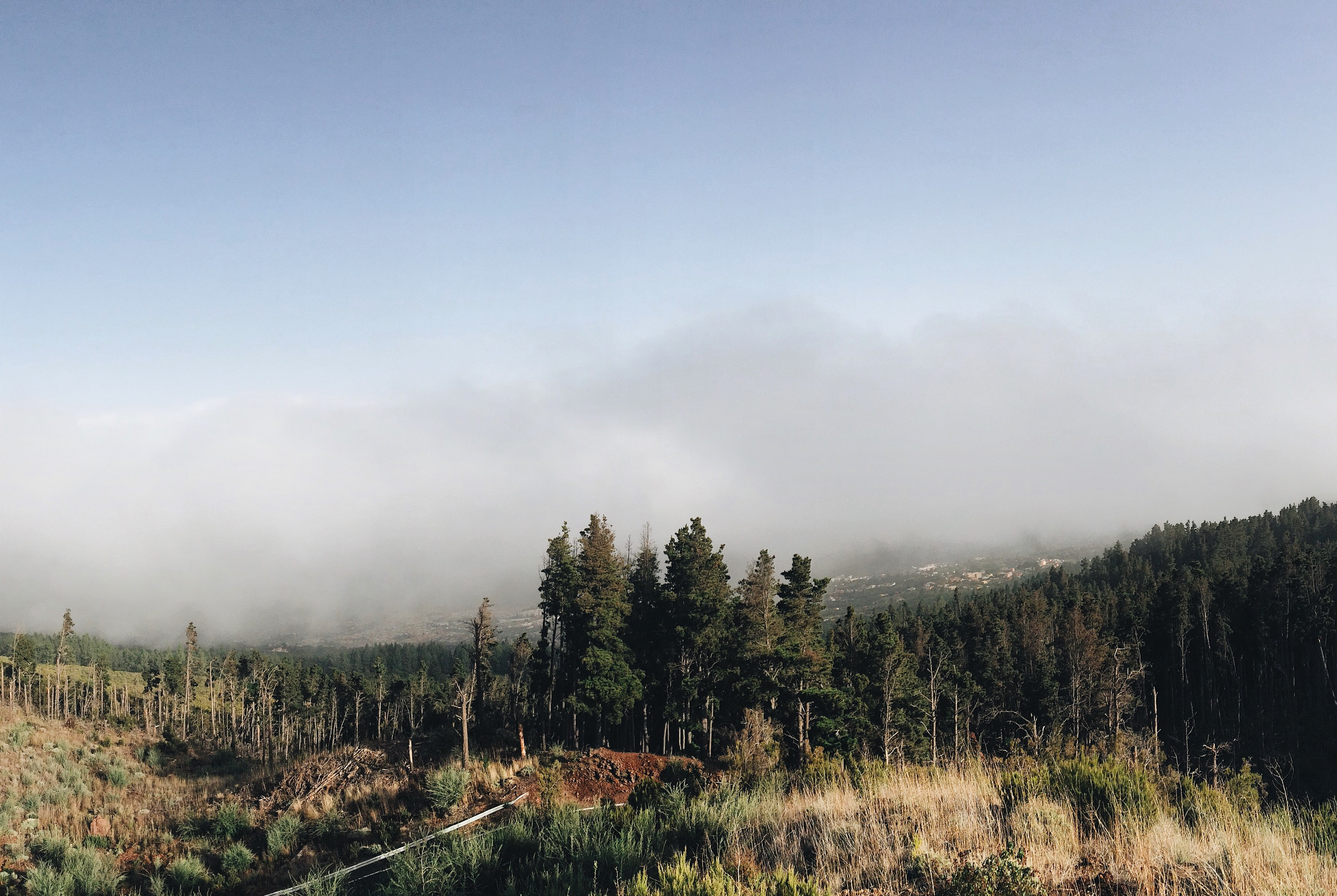 The edge of a coniferous forest with thick fog gathering in the distance