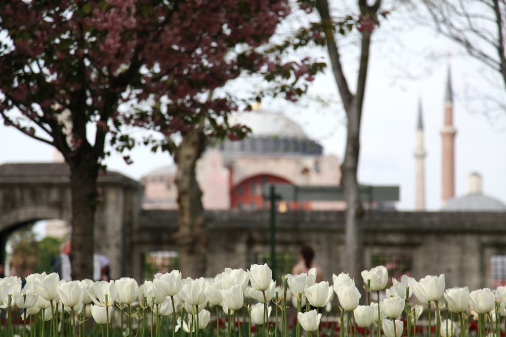 white tulips flowers