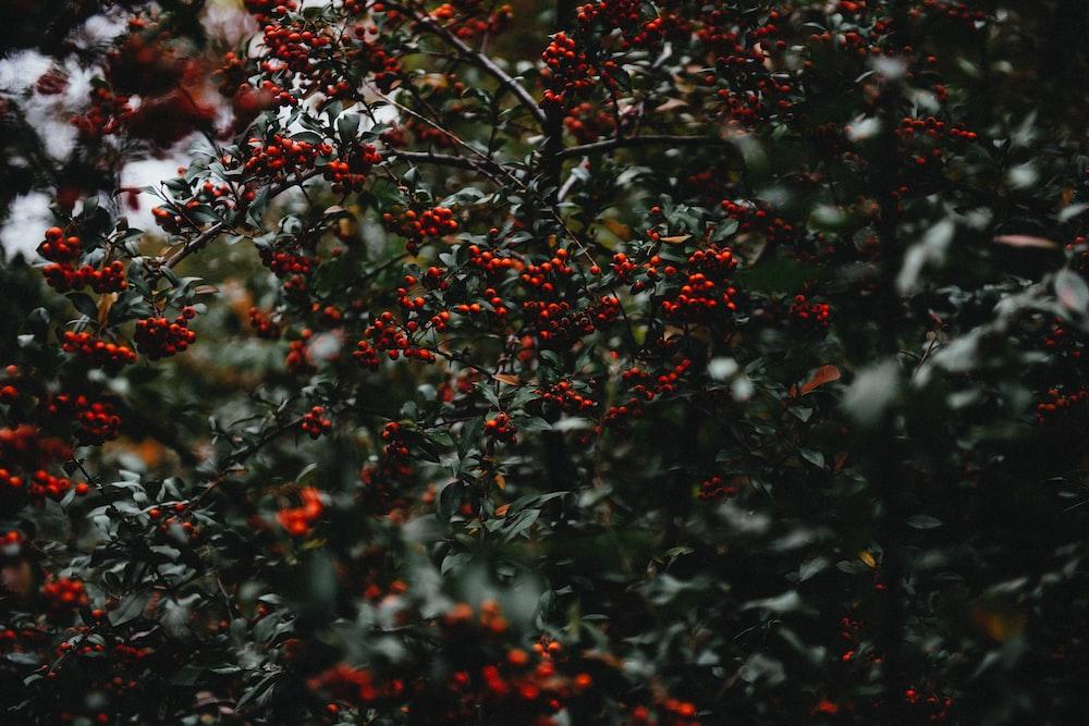 mistletoe tree
