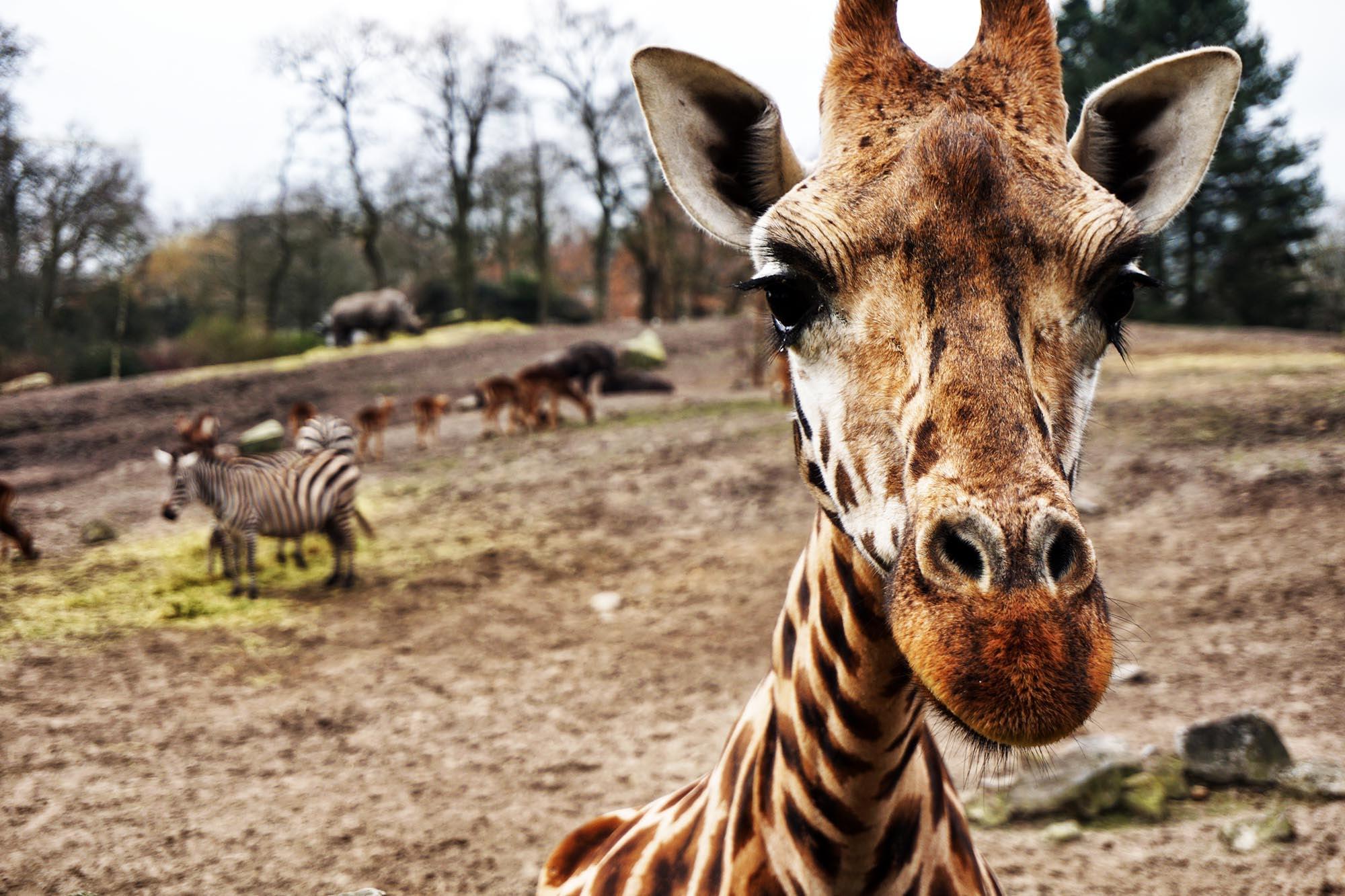 giraffe on brown sand