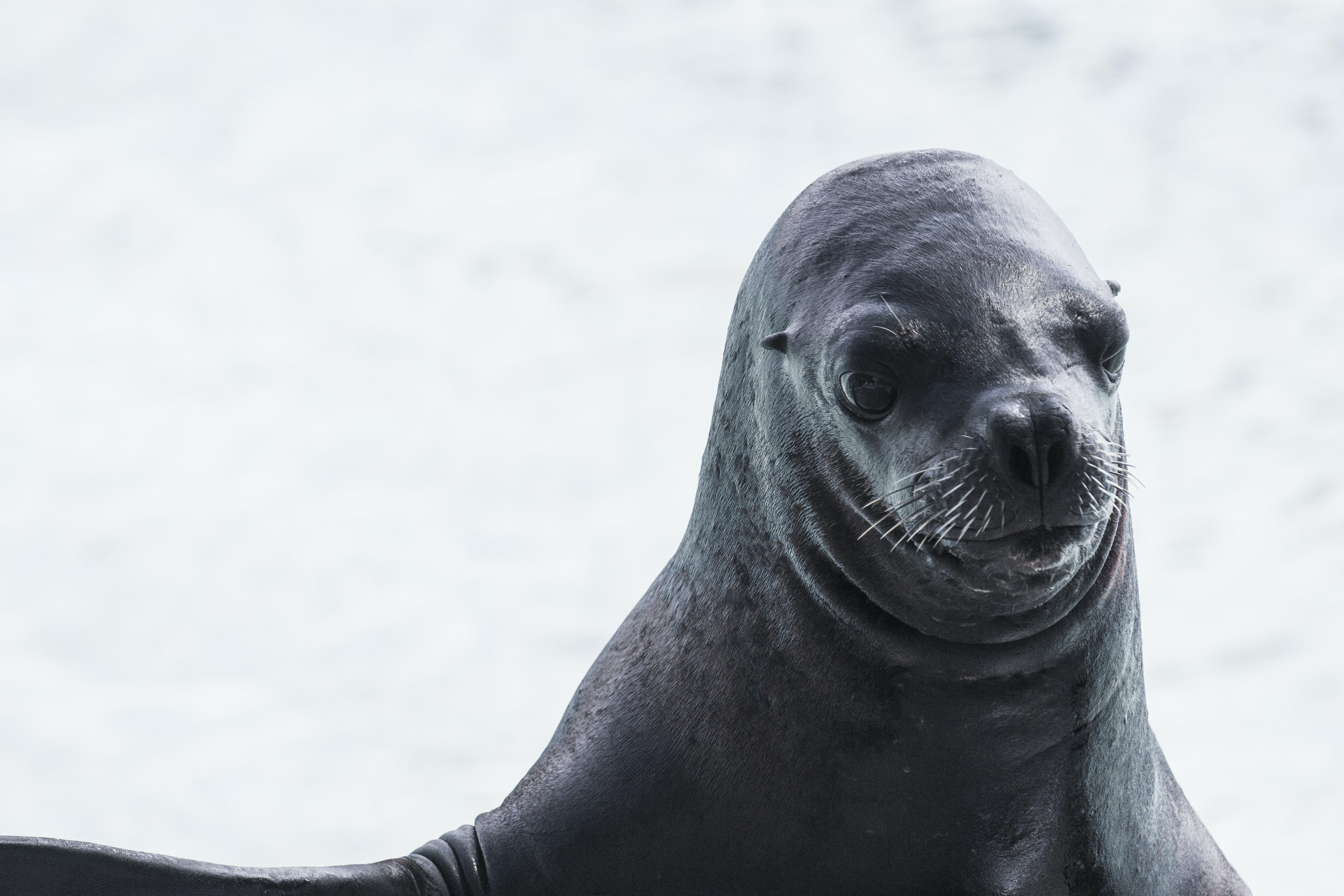 wildlife photography of sea lion