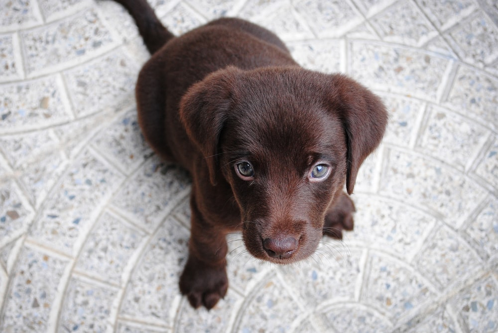 short-coated brown puppy on white floor