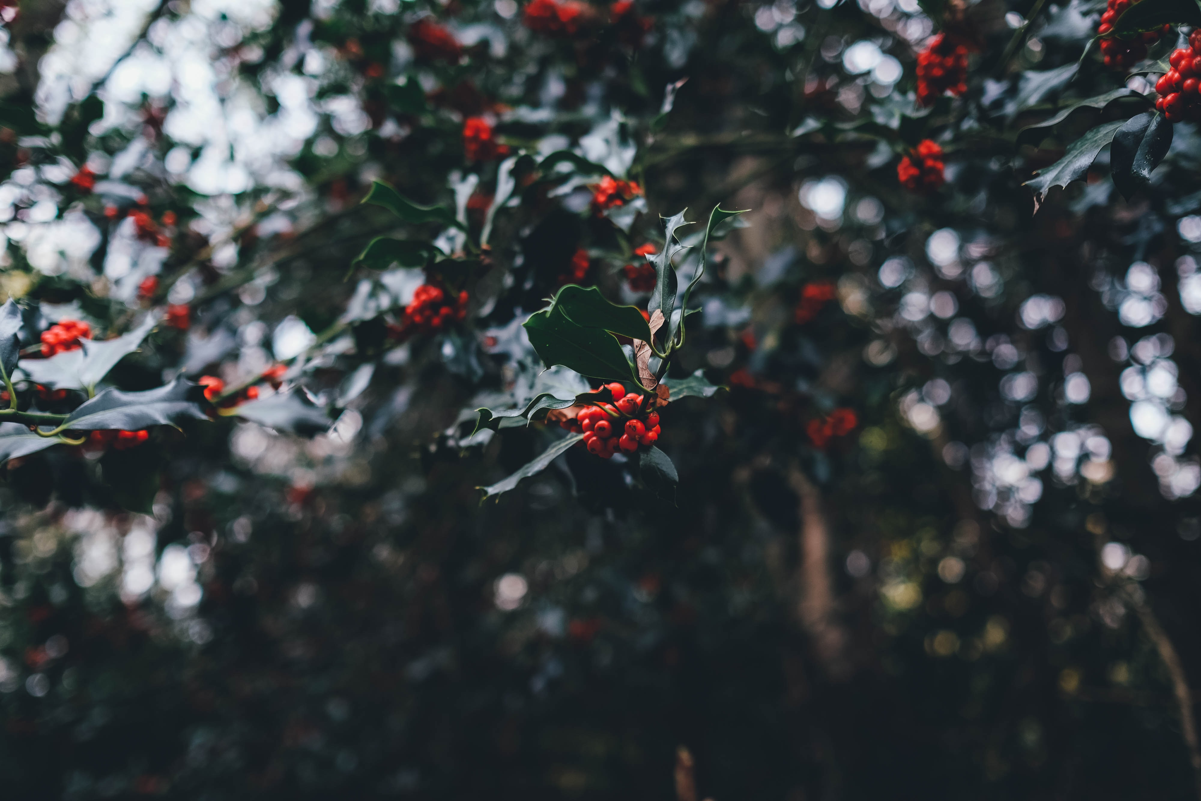 Clusters of holly berries and leaves on a tree