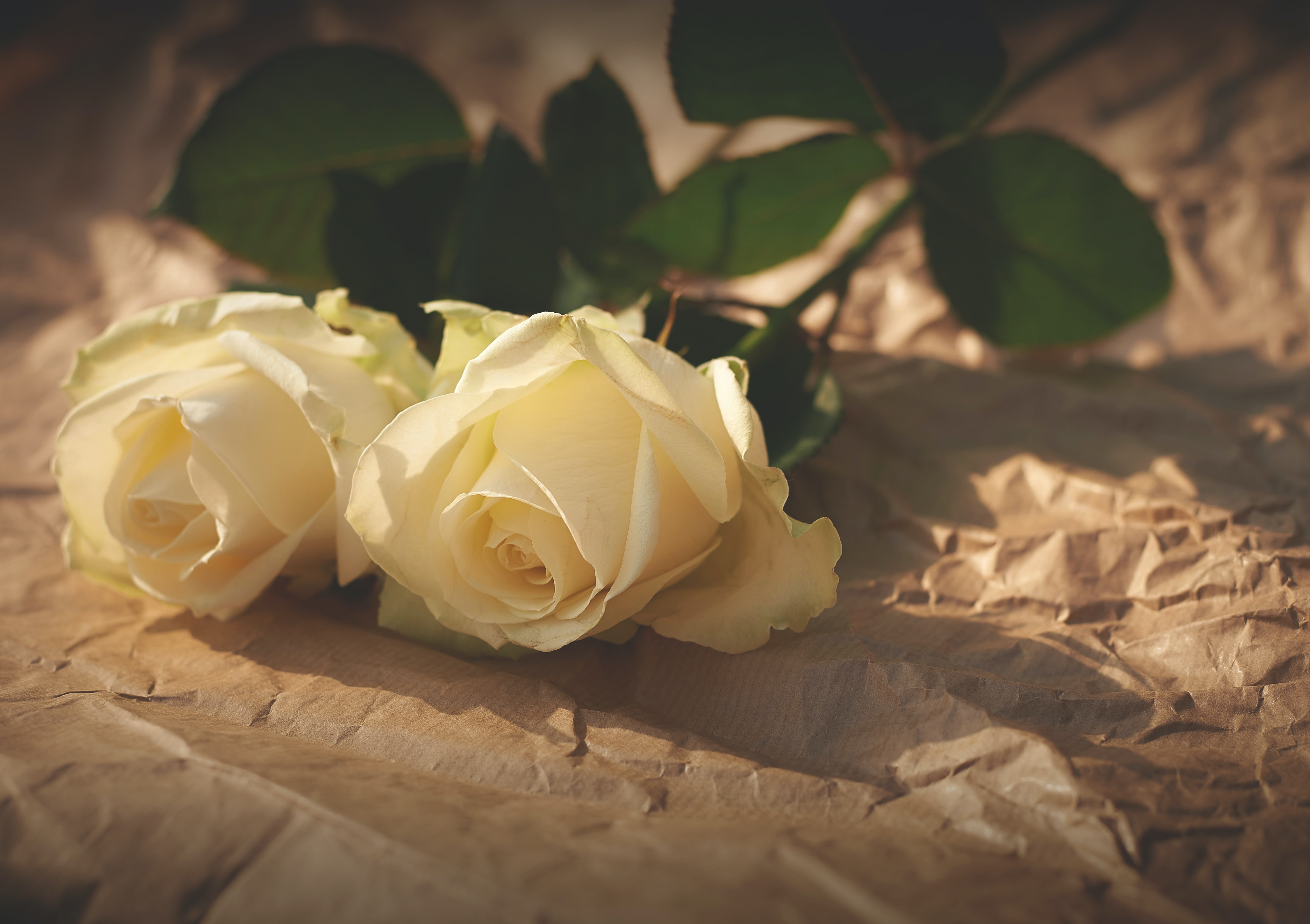 Two cream-colored roses sit atop crumpled brown paper
