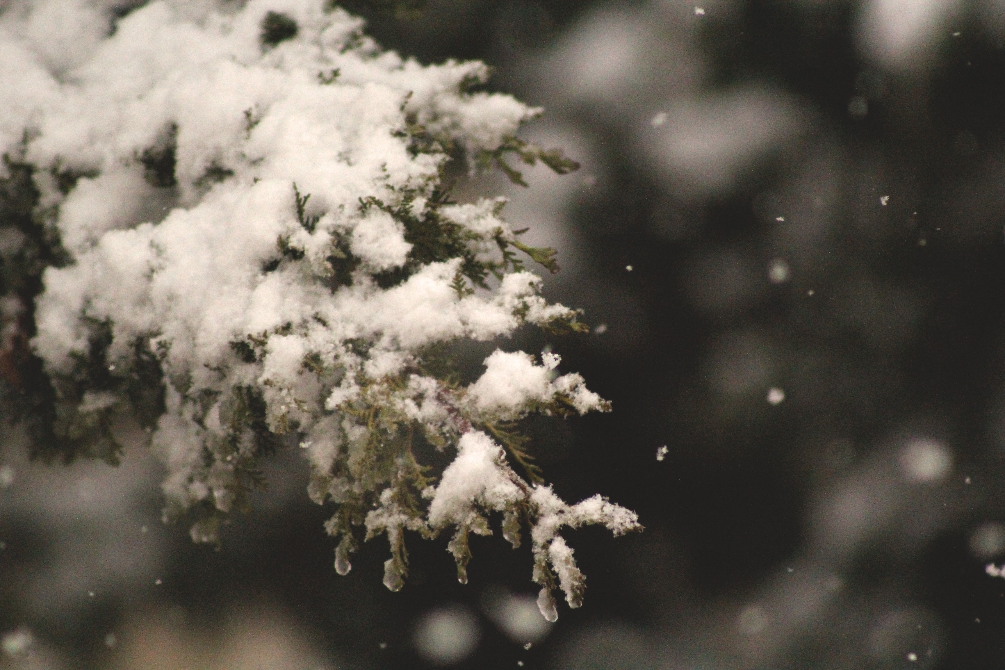 A closeup of a tree branch covered in snow in Amman, Jordan