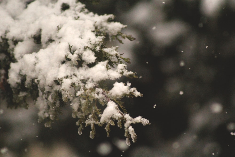 selective focus of snow coated pine tree