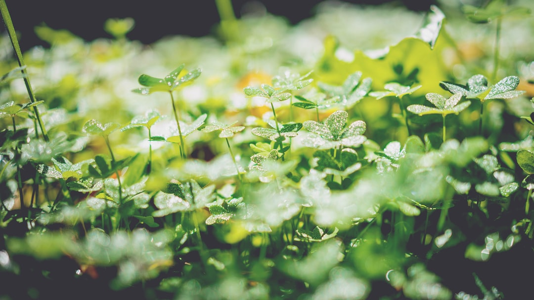 Clovers under morning dew