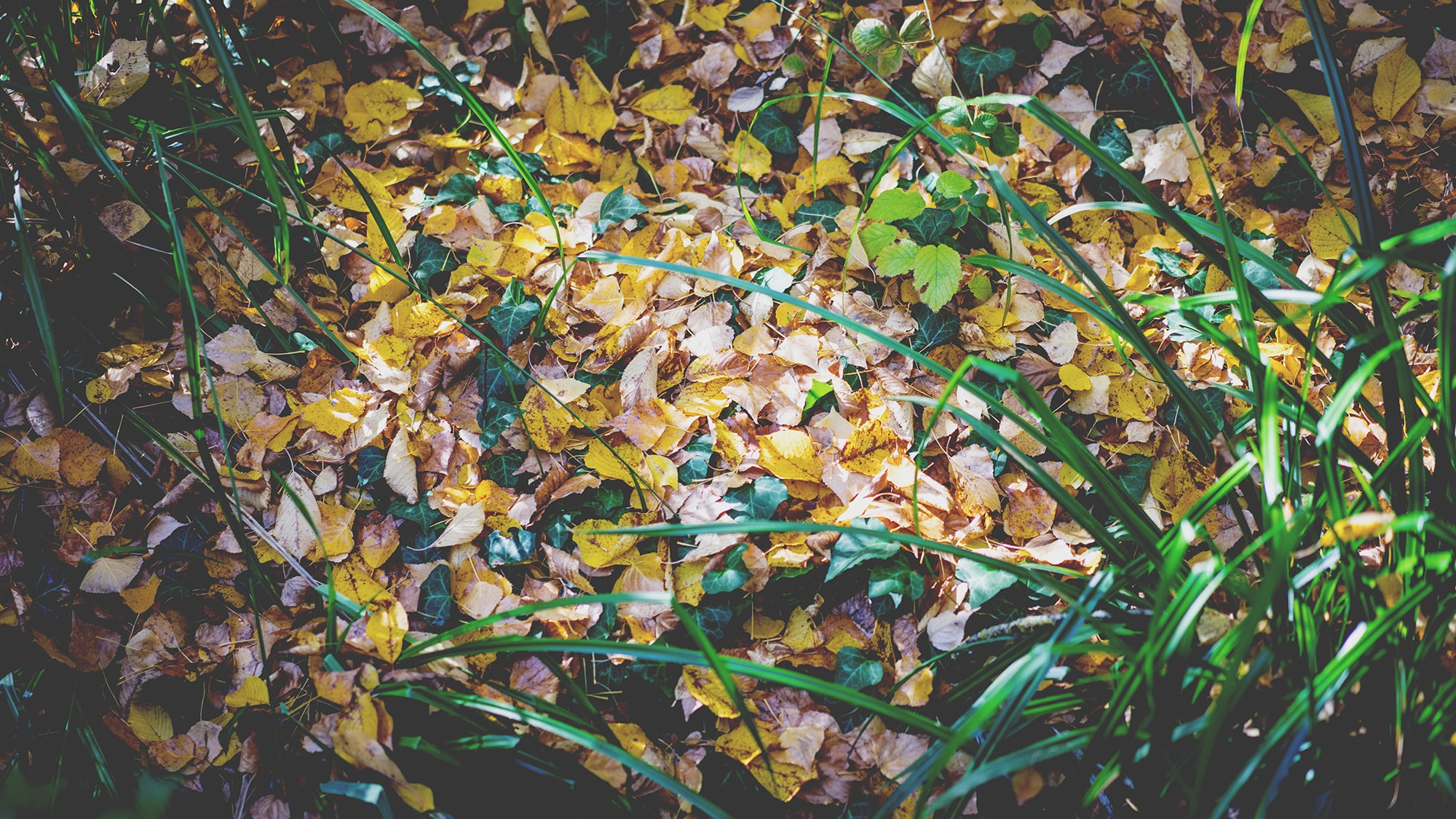 yellow leaves with green linear plants