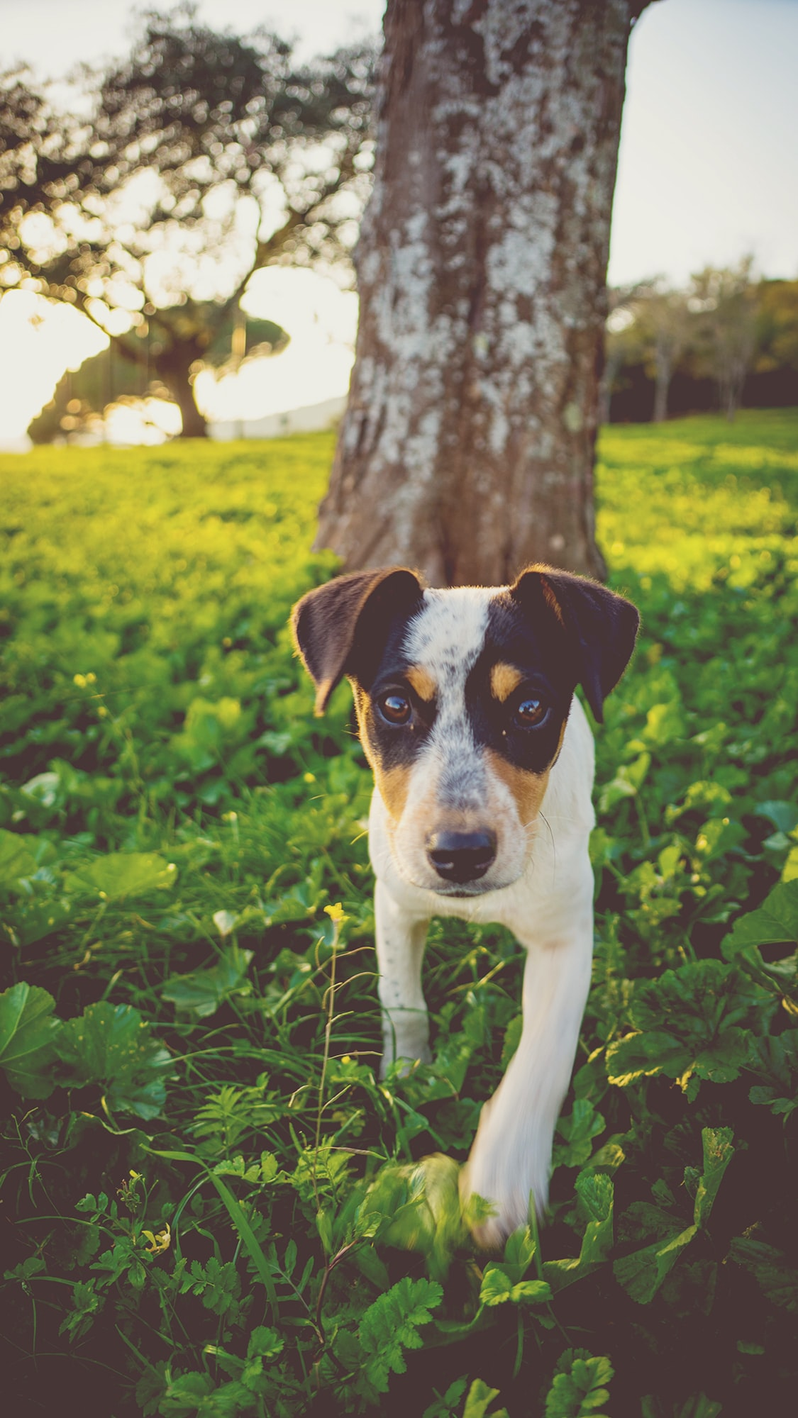 A foxhound puppy on green grass under a tree on a sunny morning in Huelva