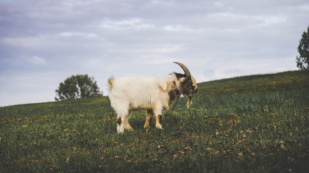 white goat on green grass field