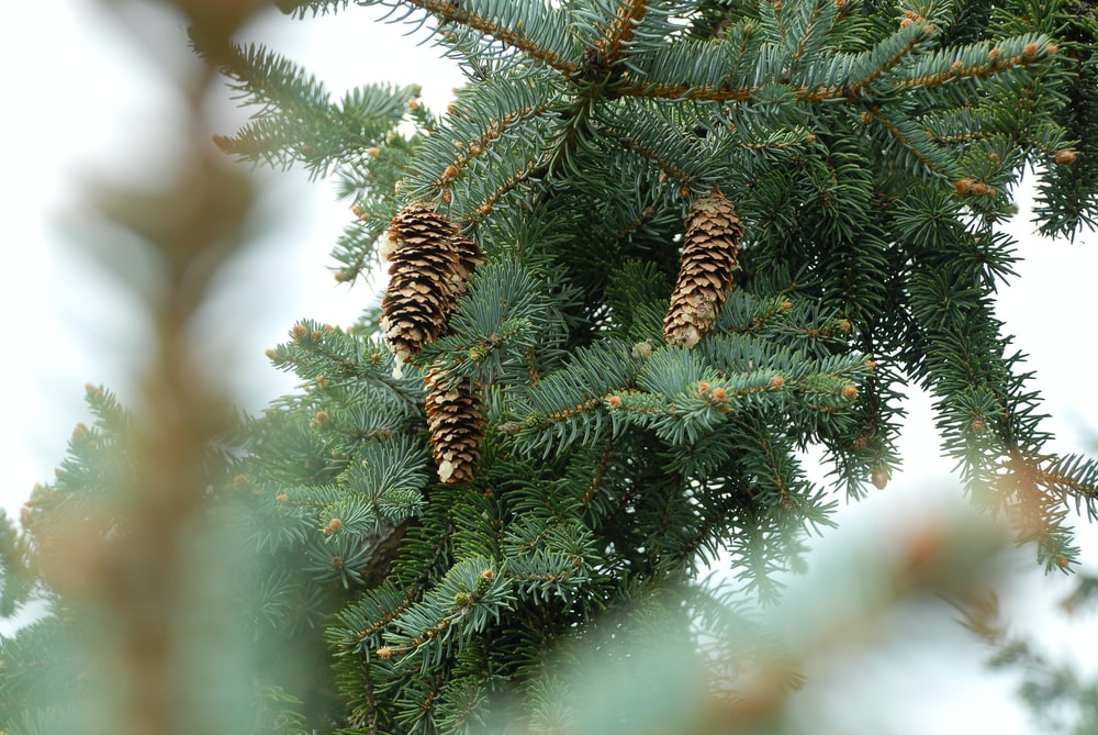 depth photography of pine tree with pine cones