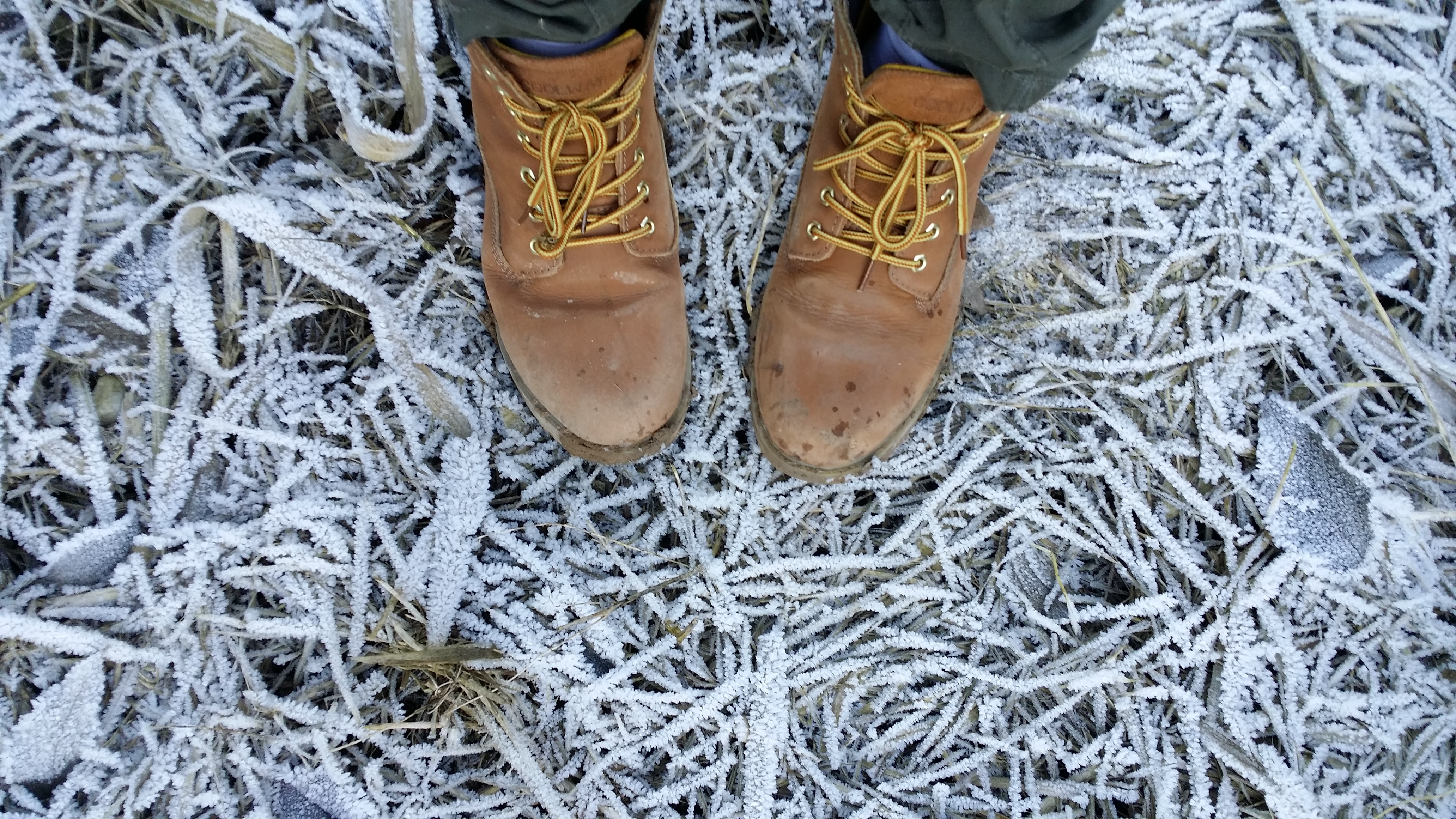 Brown boots laced with orange strings standing upon icy, winter branches