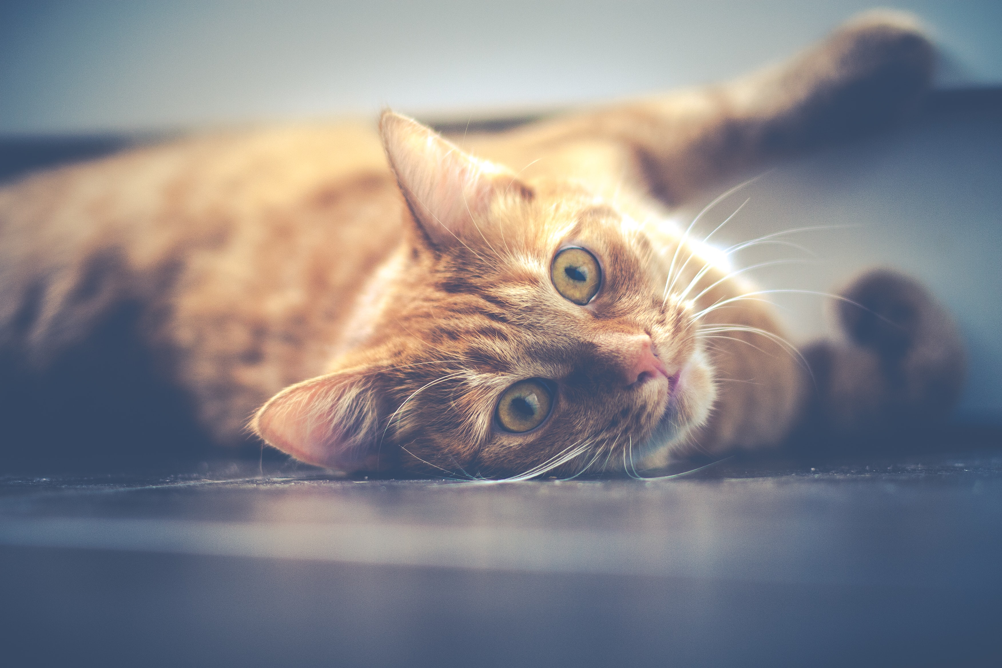 A ginger tabby lying on the floor and looking at the camera expectantly
