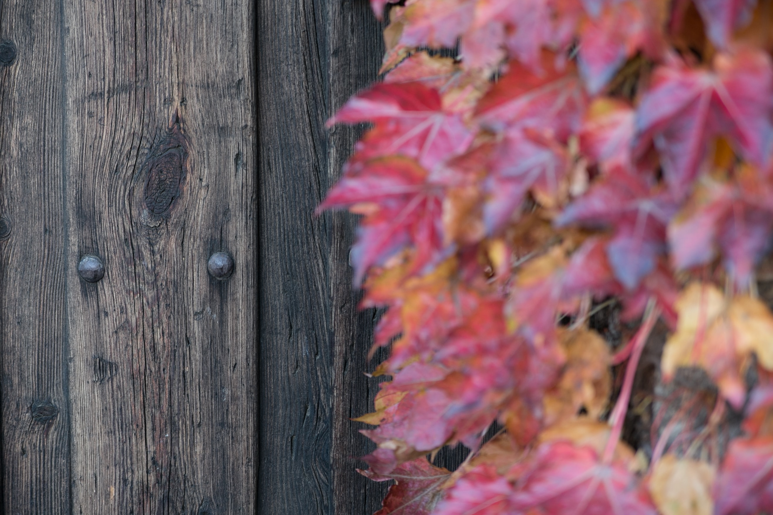 Red leaves against a fence during autumn.