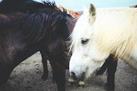 black and white horses gathering